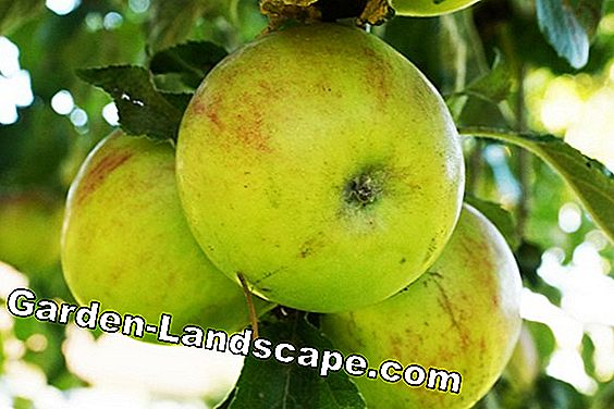 Natural sprays for fruit trees - when and with what is sprayed: fruit