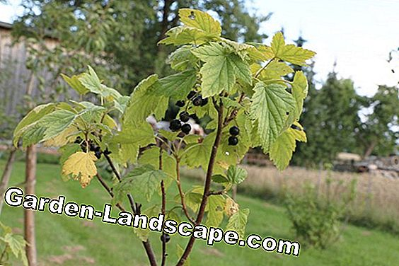 Currant yellow leaves