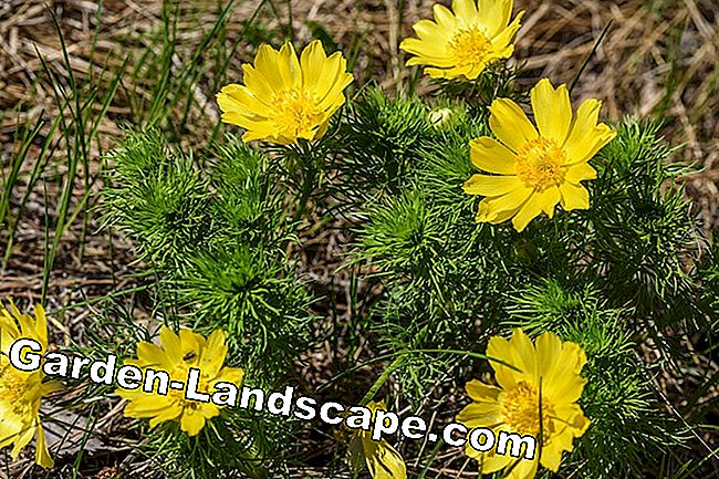 Plant Adonis - instructions and important notes on location and soil