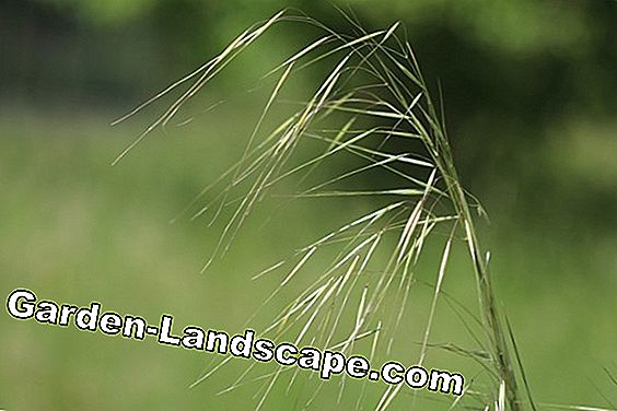 Angel Hair Feather Grass - Cuidado y corte