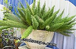 Ornamental asparagus: detect and combat diseases and pests
