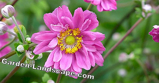 Increase autumn anemones by rooting cuttings