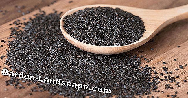 Basil Seeds: That's why they are so healthy