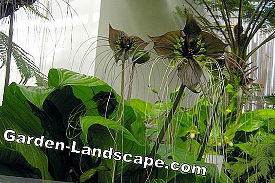 Bat flower, Tacca chantrieri - cultivation and care