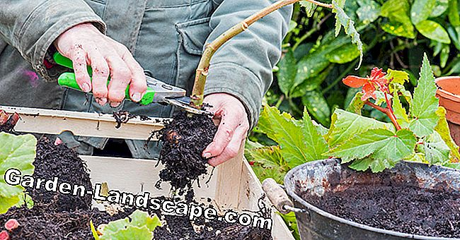 Begonias: How to manage overwintering