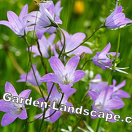 Meadow bluebell (Campanula patula)