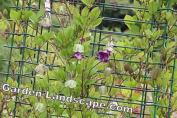Bell Vine, Cobaea scandens - care and propagation