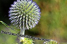 A real eye-catcher: the blue ball thistle