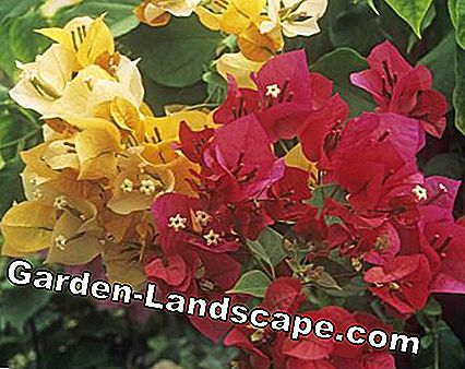 Bougainvillea 'Madame Clara Butt' (red) and 'Lady Mary Baring (yellow)