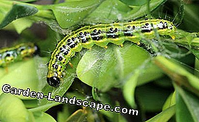 Caterpillar of the Boxwood Borer