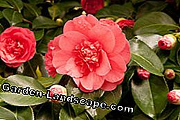 Camellias are sensitive to relocation