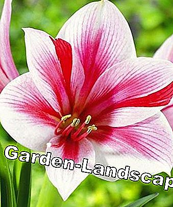 Care tips for Amaryllis: care