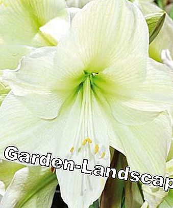 Care tips for Amaryllis: tips