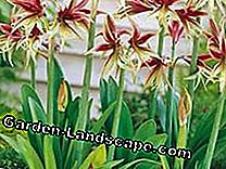 Care tips for Amaryllis: Hippeastrum