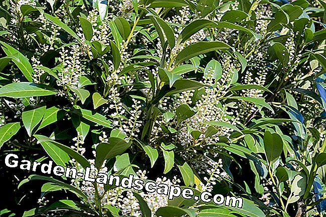 Blossoming cherry laurel