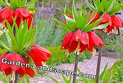 Imperial Crowns (Fritillaria imperialis)