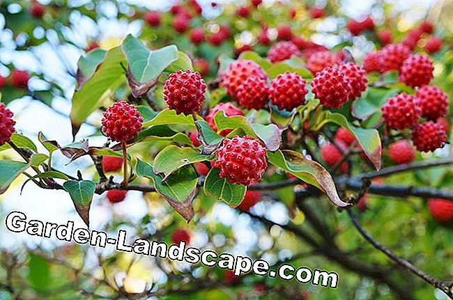 Fruits of the Chinese dogwood