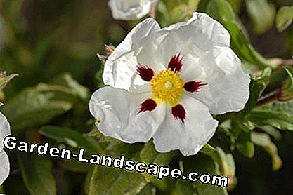 Cistus 'Jessamy Beauty'