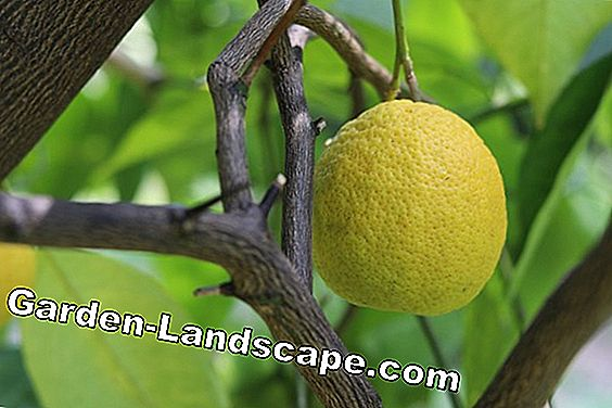 Citrus tree care from A-Z for healthy citrus trees - Instructions