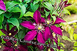 Clematis cut instruction