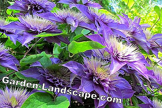 Clematis 'Multi Blue' - care and cutting: multi