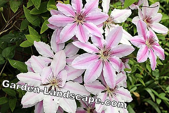 Clematis - Nelly moser - Clematis
