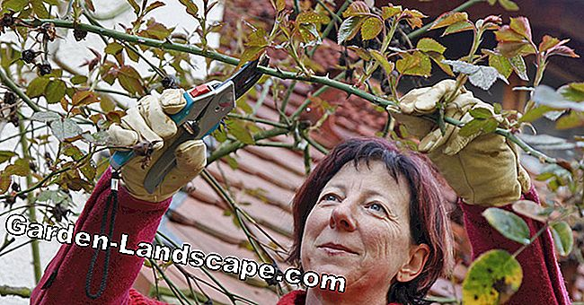 Climbing roses: Tips for cutting