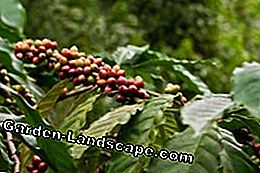 Coffee bush: