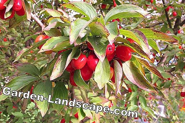 Cornelian cherry - plants, cut and multiply