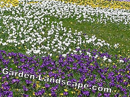 Crocus meadow Crocus