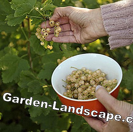Harvest Whitecurrants