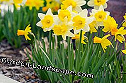 Daffodils can also be transplanted