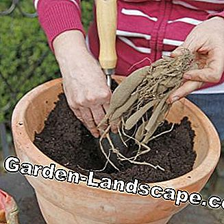 Plant dahlia tubers in a pot