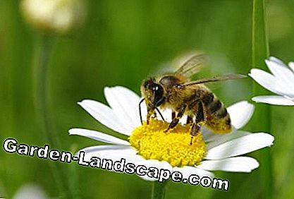 Bee sits on Mageritenblüte