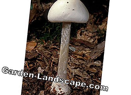 Cone-headed tuber-leaved mushroom