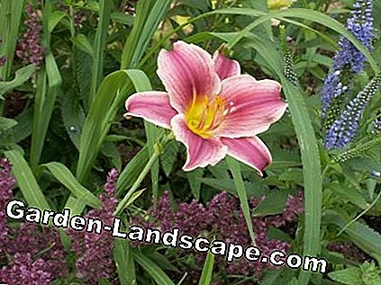 Daylily with accompanying perennials