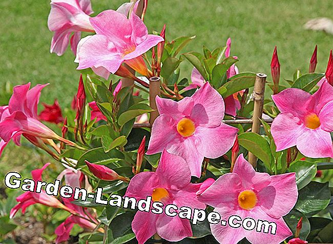 Planting Dipladenia - Instructions and important information on location and soil