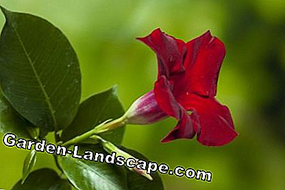 Funnel-shaped Mandevilla blossom