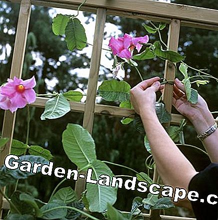 Fix Dipladenie on the trellis
