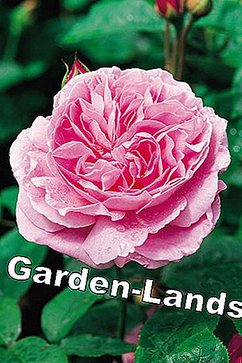 English roses: These varieties are recommended: these