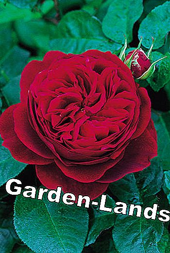 English roses: These varieties are recommended: english