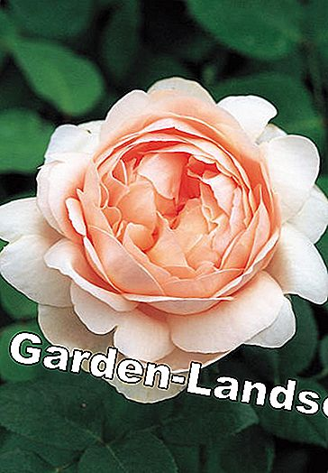 English roses: These varieties are recommended: recommended