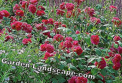 English rose 'Wenlock' with steppe sage
