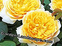 English roses: These varieties are recommended: varieties