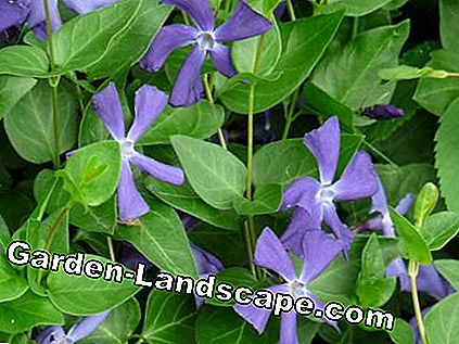 evergreen besar (Vinca major)