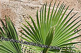 Fan palms rarely need to be cut
