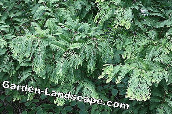 Dawn redwood tree - Metawequoia glyptostroboides
