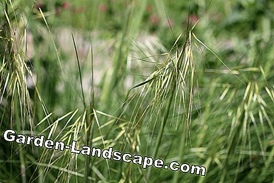 Feather grass, Stipa tenuissima - care and cutting