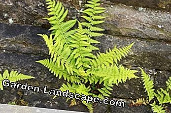 young worm fern