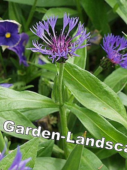 Mountain bluebell Centaurea montana